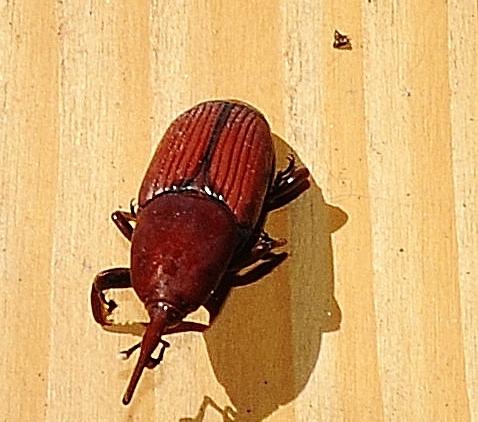 Rhynchophorus ferrugineus - charançon rouge du palmier - Page 2 00310