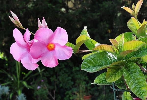 Dipladenia amabilis (= Mandevilla amabilis rose) 008_6011