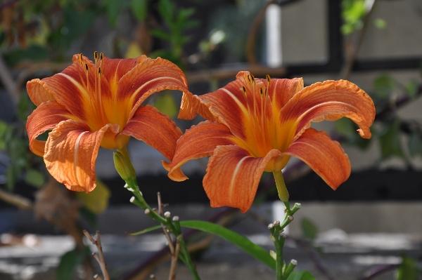 Hemerocallis - des variétés - Page 5 011_6010