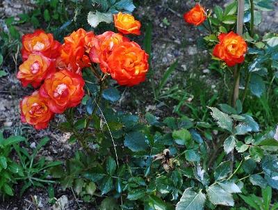 petits bouquets de juillet - Page 2 015_4010