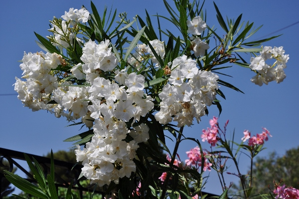 petits bouquets de juillet 026_6010