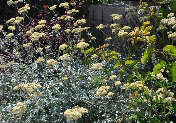 Helichrysum petiolare = H. petiolatum 030_6011