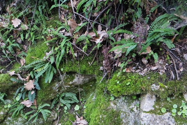 Ceterach officinarum (= Asplenium ceterach) Bau-ro10