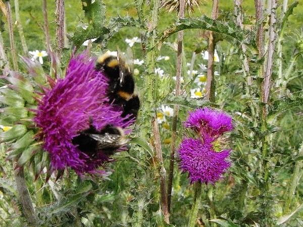 plantes mellifères : les meilleures plantes à insectes de vos jardins  Bourdo11