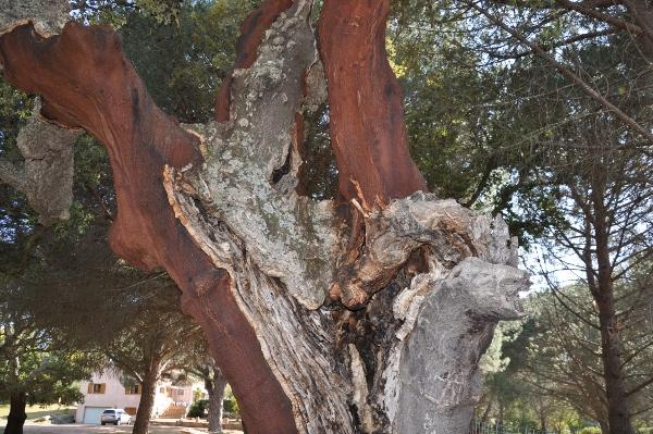 Quercus suber - chêne liège Chez_j11