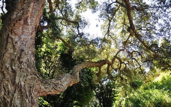 Quercus suber - chêne liège Chyne_10