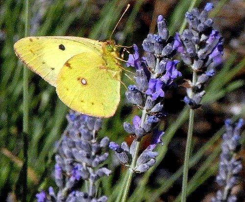 plantes mellifères : les meilleures plantes à insectes de vos jardins  Copy_o12