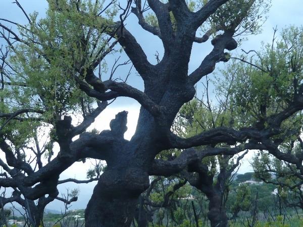 Quercus suber - chêne liège Corse_11
