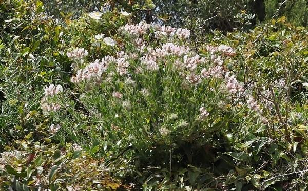 Dorycnium pentaphyllum - badasse Corse_13