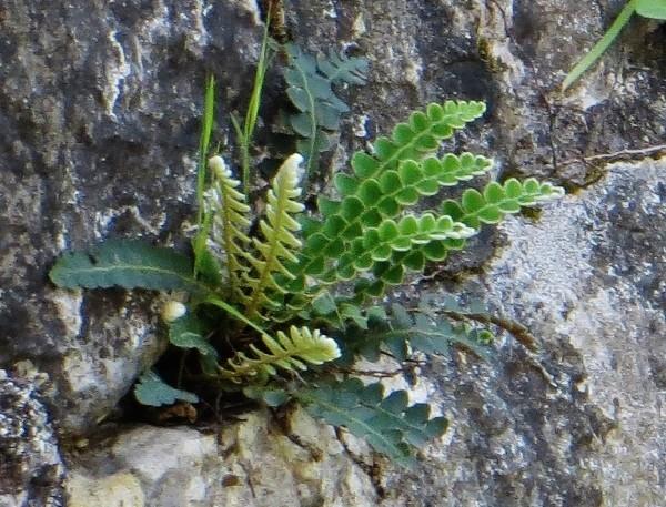 Ceterach officinarum (= Asplenium ceterach) Croati10
