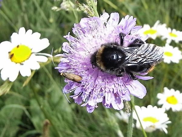 Knautia arvensis - knautie des champs  Flore_14