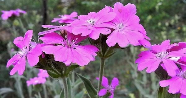 Silene flos-jovis (= Lychnis flos-jovis) - silène fleur de jupiter Flore_17