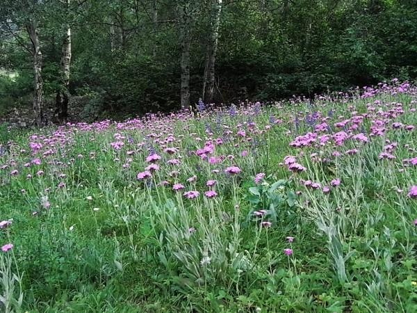 Silene flos-jovis (= Lychnis flos-jovis) - silène fleur de jupiter Flore_21