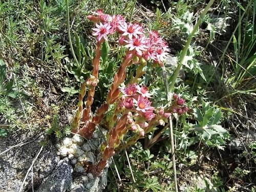 Crassulacées dans la nature : commentaires, discussions, identifications Flore_24