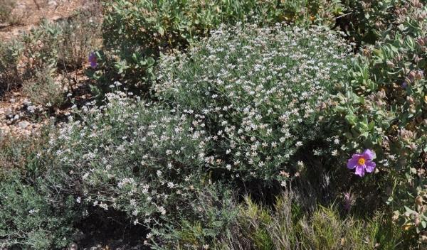 Dorycnium pentaphyllum - badasse Galium10