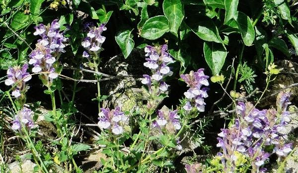 Scutellaria alpina - scutellaire des Alpes Guiber11