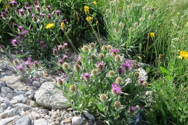 Centaurea uniflora - centaurée à une tête Guiber20