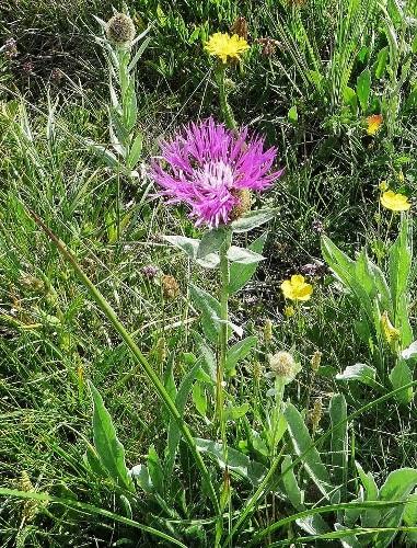Centaurea uniflora - centaurée à une tête Guiber21