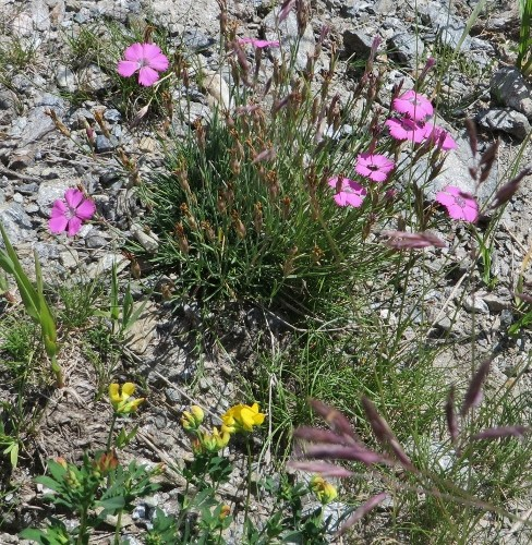 Dianthus pavonius - oeillet oeil de paon Hautes16