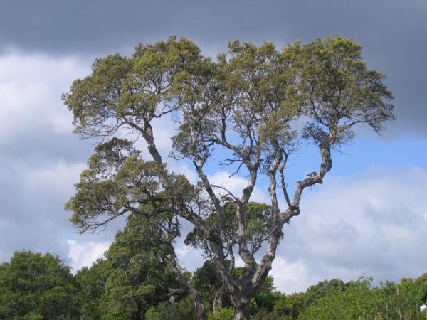 Quercus suber - chêne liège Img_2010