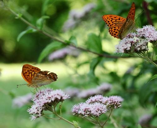 plantes mellifères : les meilleures plantes à insectes de vos jardins  Img_9410