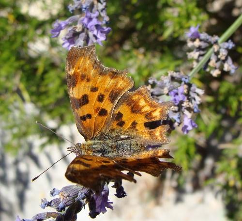 fil(et) à papillons - Page 9 Insect10
