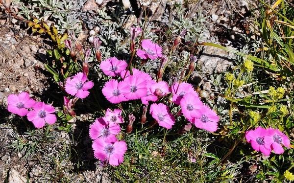 Dianthus pavonius - oeillet oeil de paon Juille23