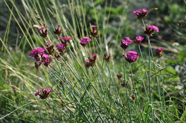 Dianthus carthusianorum - oeillet des Chartreux Juin_212