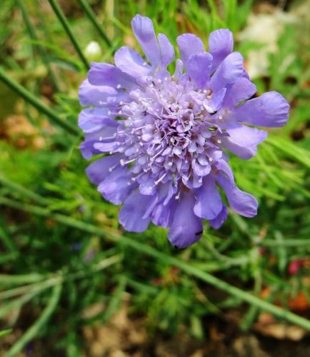 Knautia arvensis - knautie des champs  Juin_216