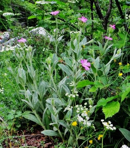 Silene flos-jovis (= Lychnis flos-jovis) - silène fleur de jupiter Juin_220