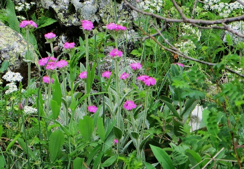 Silene flos-jovis (= Lychnis flos-jovis) - silène fleur de jupiter Juin_221