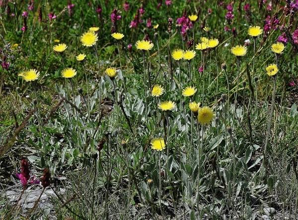 Pilosella officinarum (= Hieracium pilosella) - piloselle Juin_226