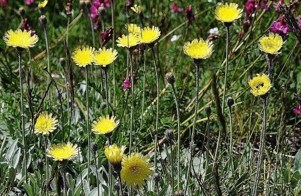 Pilosella officinarum (= Hieracium pilosella) - piloselle Juin_227