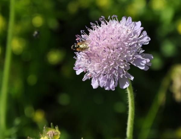 Knautia arvensis - knautie des champs  Knauti11