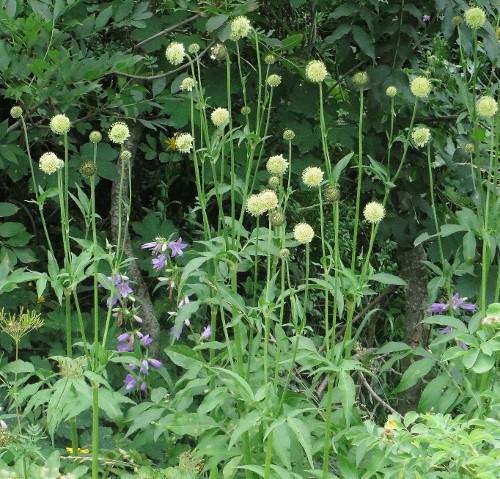 Cephalaria alpina - céphalaire des Alpes Lus_la23