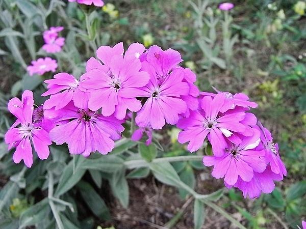 Silene flos-jovis (= Lychnis flos-jovis) - silène fleur de jupiter Lychni10