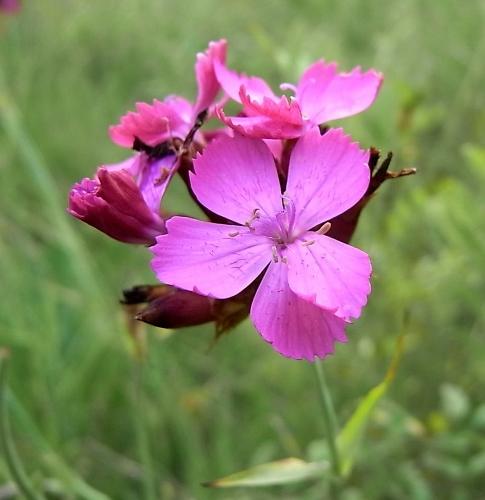 Dianthus carthusianorum - oeillet des Chartreux Oeille10