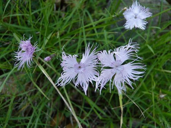 Dianthus hyssopifolius - oeillet de Montpellier Oeille11