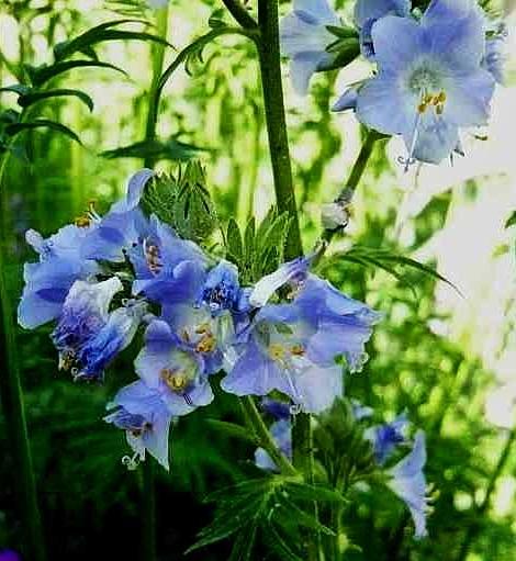 Polemonium caeruleum - polémoine bleue Polemo10
