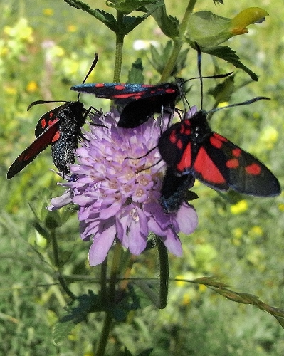 plantes mellifères : les meilleures plantes à insectes de vos jardins  Rimg5411