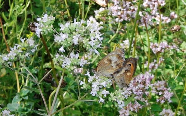 plantes mellifères : les meilleures plantes à insectes de vos jardins  Rimg6113