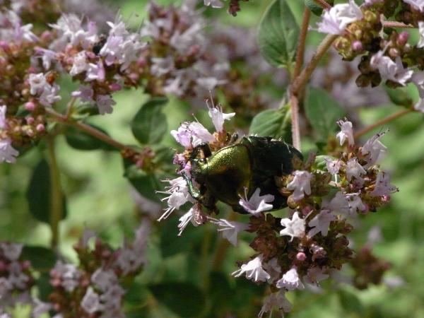 plantes mellifères : les meilleures plantes à insectes de vos jardins  Rimg6115