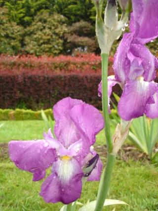 tosca - Iris 'Tosca' ? - Beaujoire [identification en cours] Tosca_10
