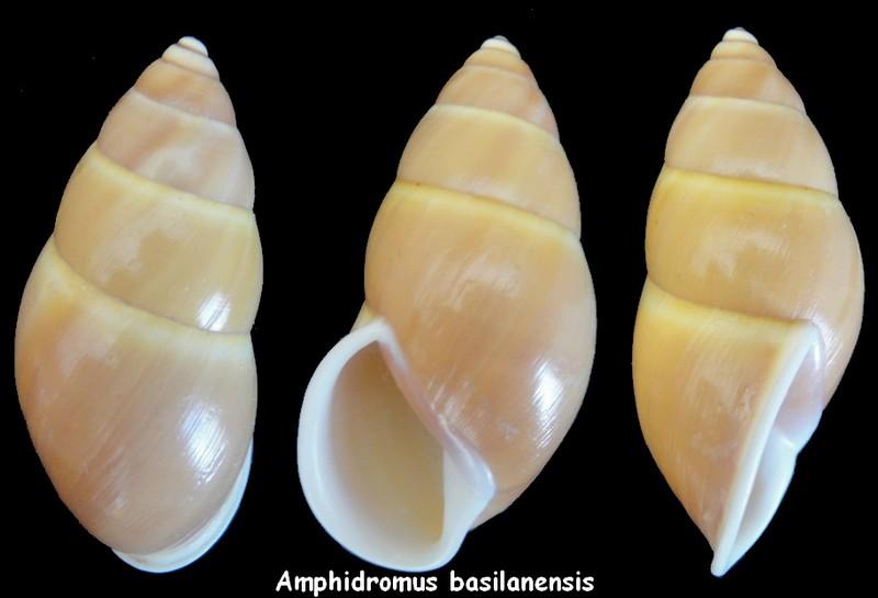 Amphidromus basilanensis (Bartsch,1917) Amphid10