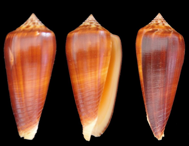 Conus (Phasmoconus) tmetus Tomlin, 1937 voir Conus (Ph.) ochroleucus - Page 2 Conus_10