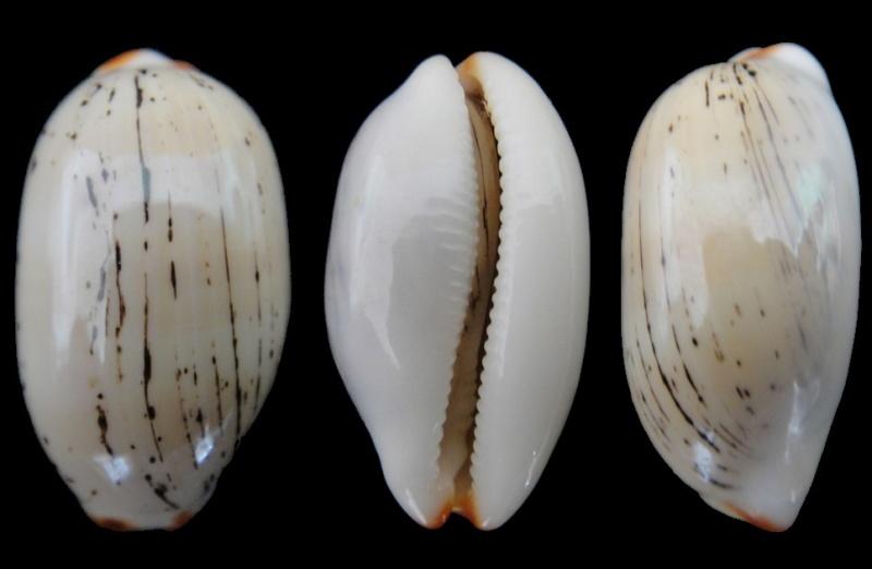 Luria isabella controversa - (Gray, 1824) voir Luria isabella (Linnaeus, 1758) Cyprae10