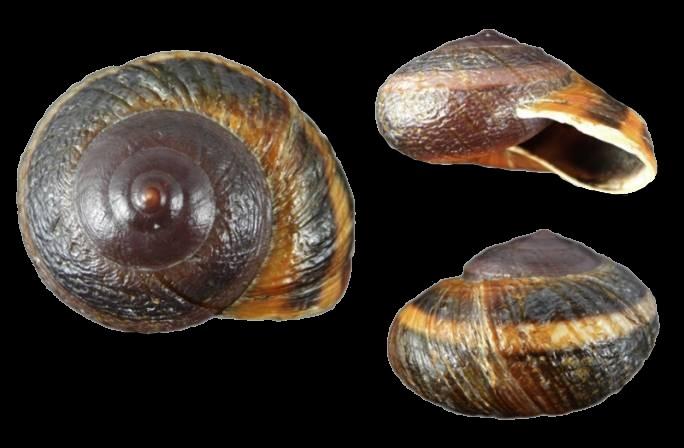Hemiplecta obliqueundulata (van Benthem Jutting, 1959) Hemipl10