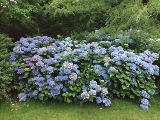 Floraisons du mois de juillet - Page 13 Dscf4437