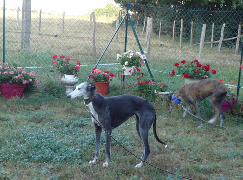 Bruja, galga grise et blanche, 5 ans Adoptée  - Page 2 Bruja10