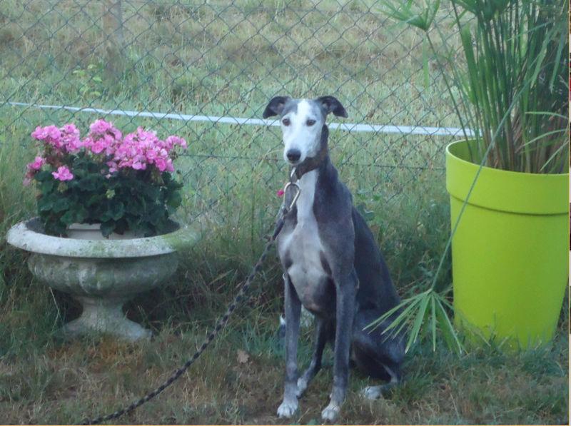 Bruja, galga grise et blanche, 5 ans Adoptée  - Page 2 Bruja210